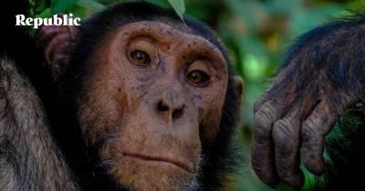 Как советские ученые пытались скрестить шимпанзе и человека
